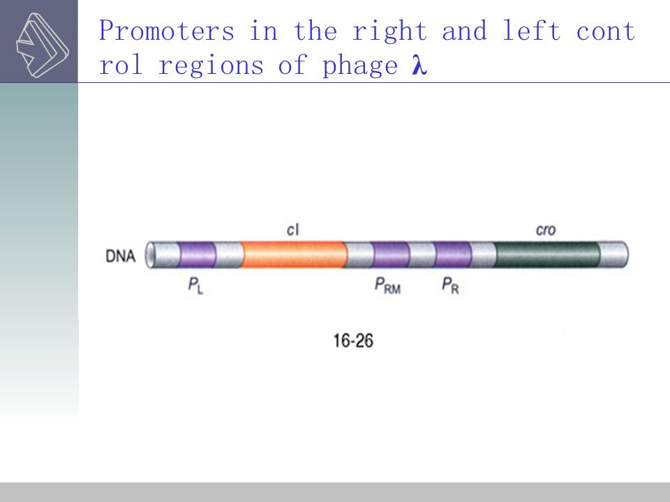 Promoters in the right and left control regions of phage λ