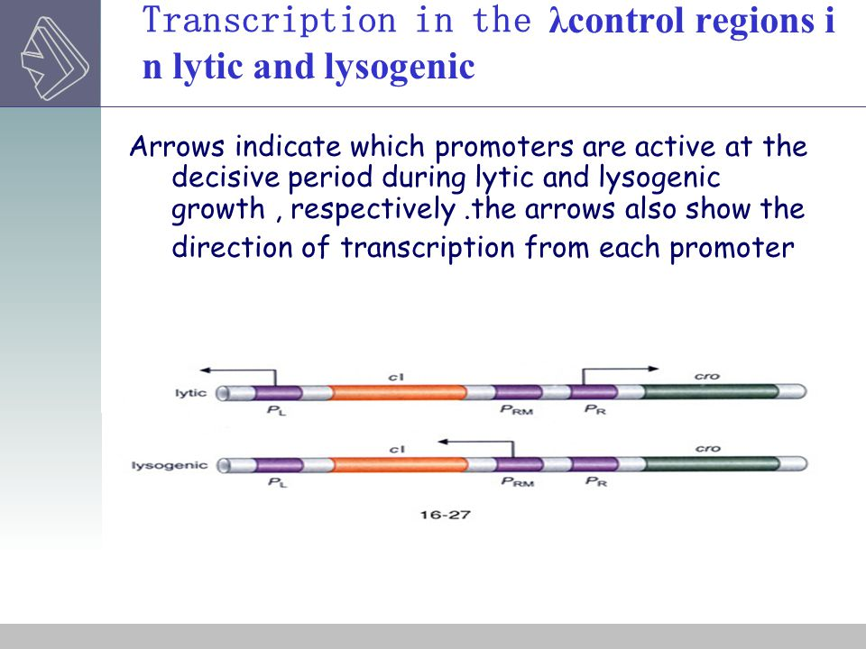 Transcription in the λcontrol regions in lytic and lysogenic