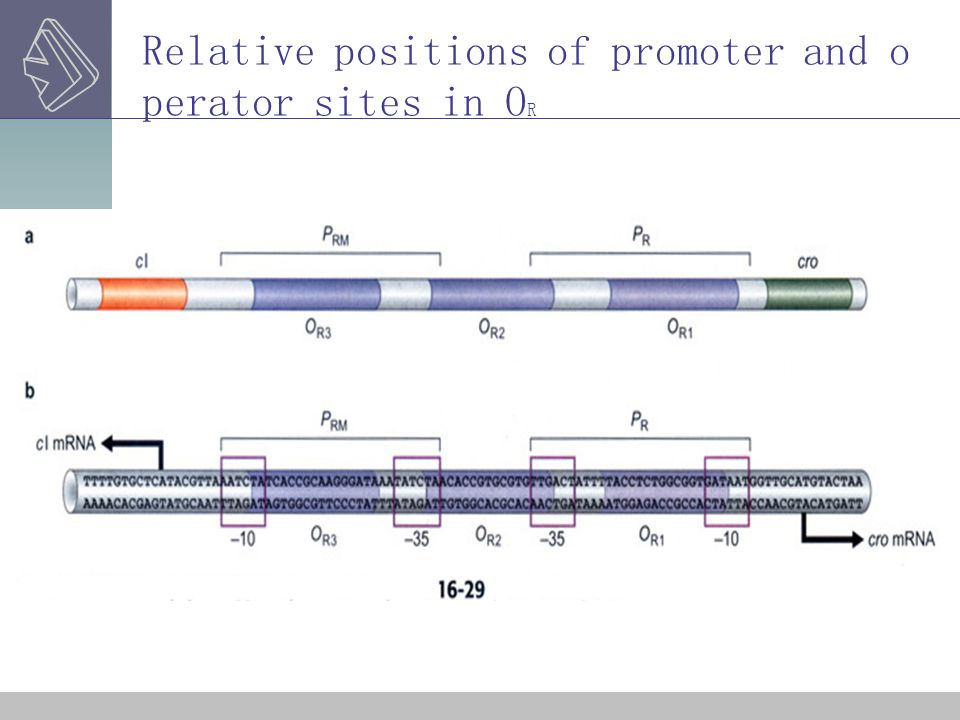 Relative positions of promoter and operator sites in OR