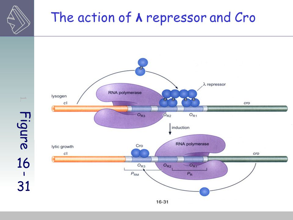 The action of λ repressor and Cro