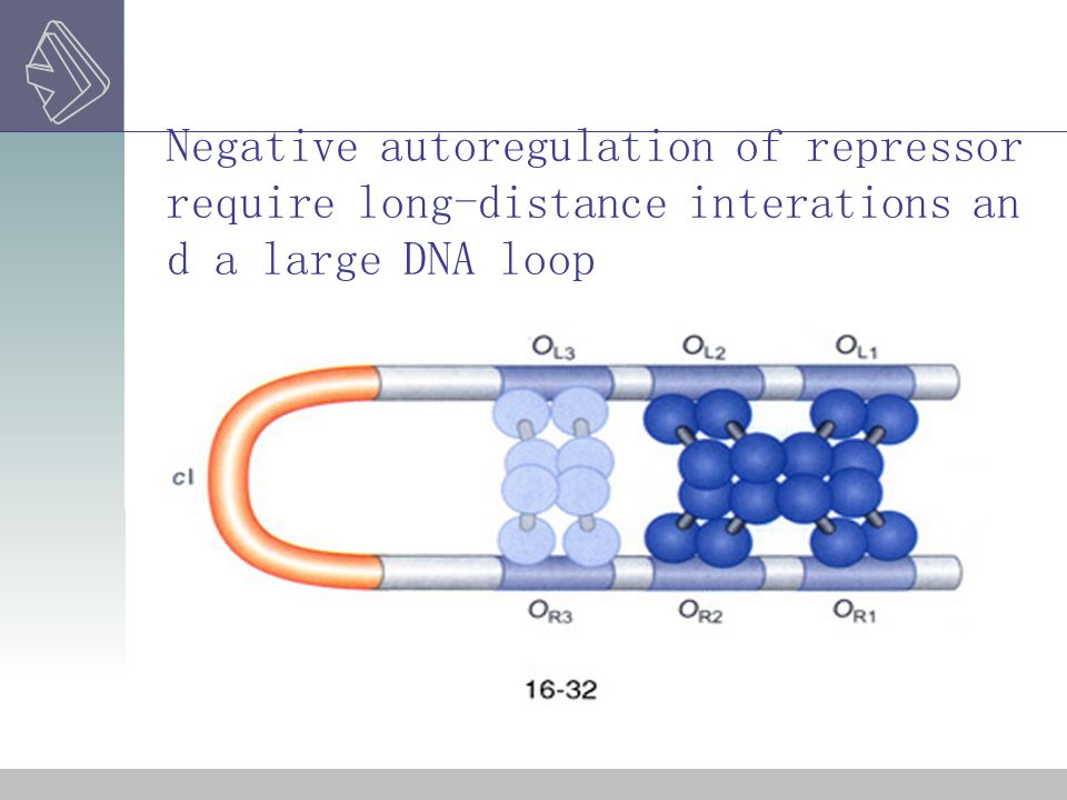 Negative autoregulation of repressor require long-distance interations and a large DNA loop
