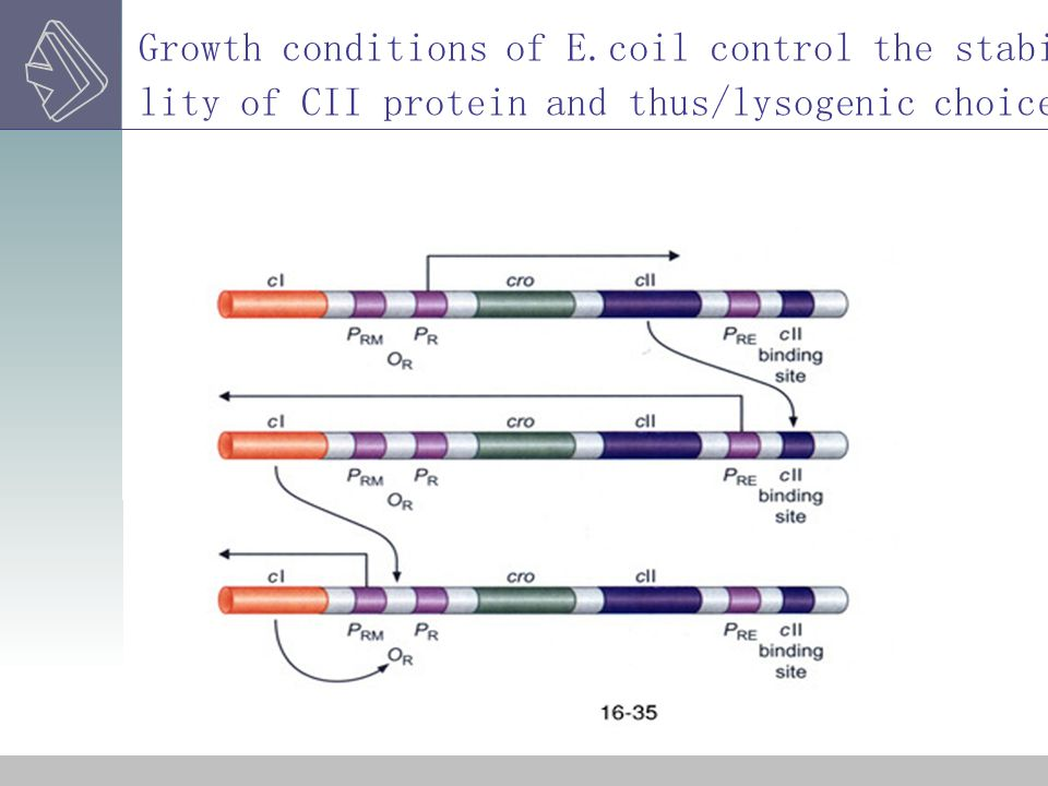 Growth conditions of E.coil control the stability of CII protein and thus/lysogenic choice