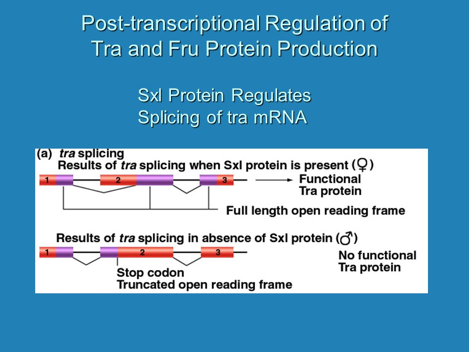 Post-transcriptional Regulation of Tra and Fru Protein Production