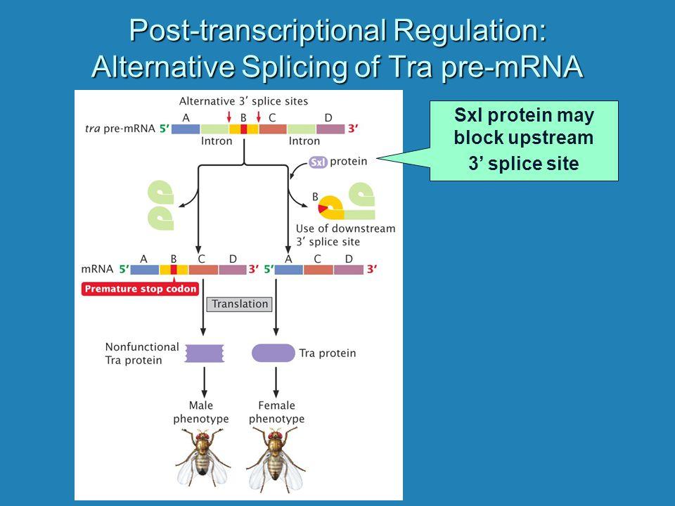 Post-transcriptional Regulation: Alternative Splicing of Tra pre-mRNA