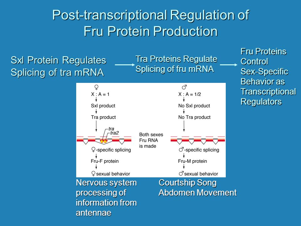 Post-transcriptional Regulation of Fru Protein Production