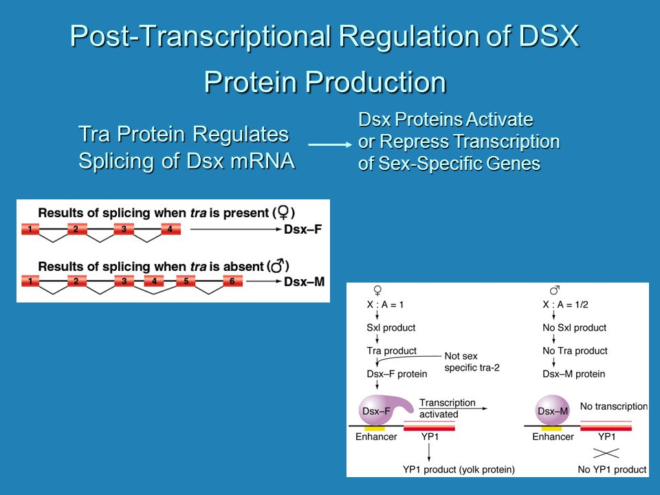 Post-Transcriptional Regulation of DSX Protein Production
