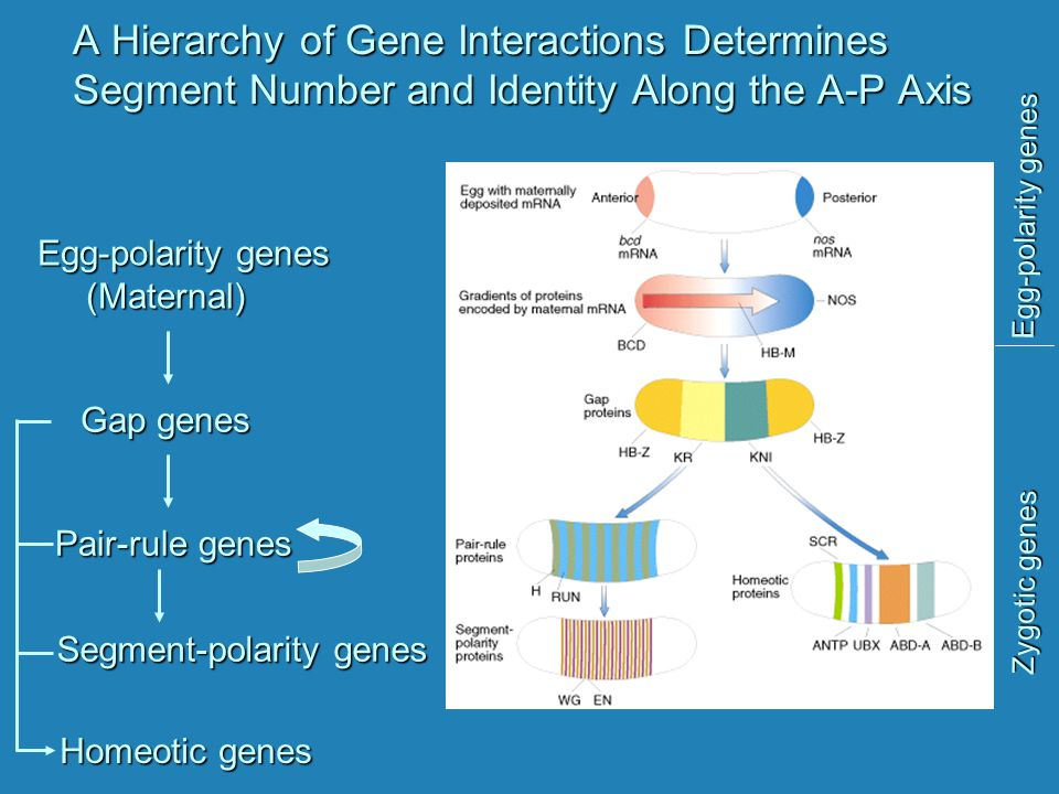 A Hierarchy of Gene Interactions Determines Segment Number and Identity Along the A-P Axis