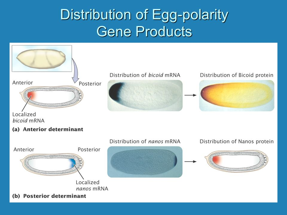 Distribution of Egg-polarity Gene Products