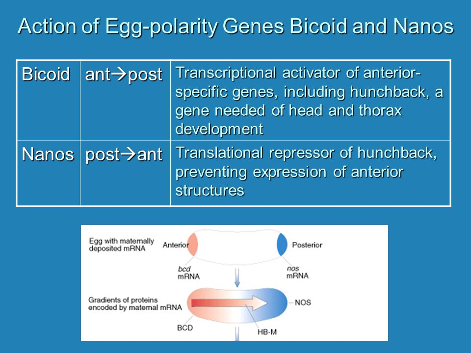Action of Egg-polarity Genes Bicoid and Nanos