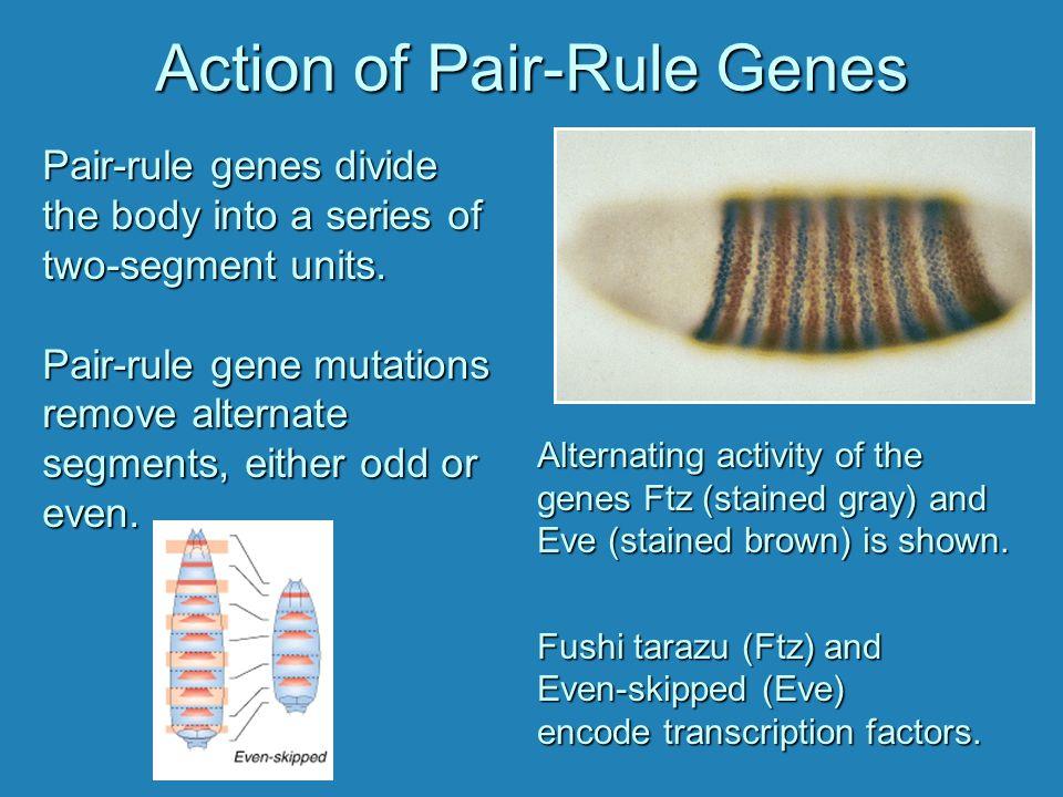 Action of Pair-Rule Genes