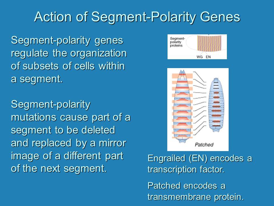 Action of Segment-Polarity Genes