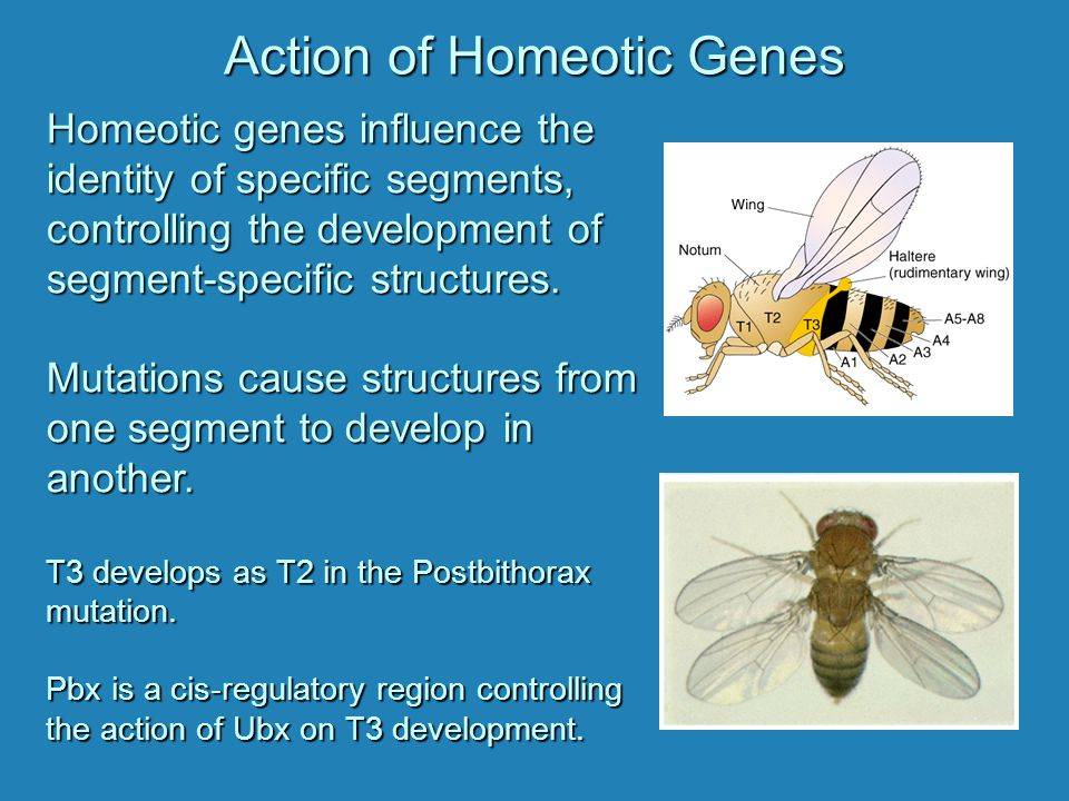 Action of Homeotic Genes