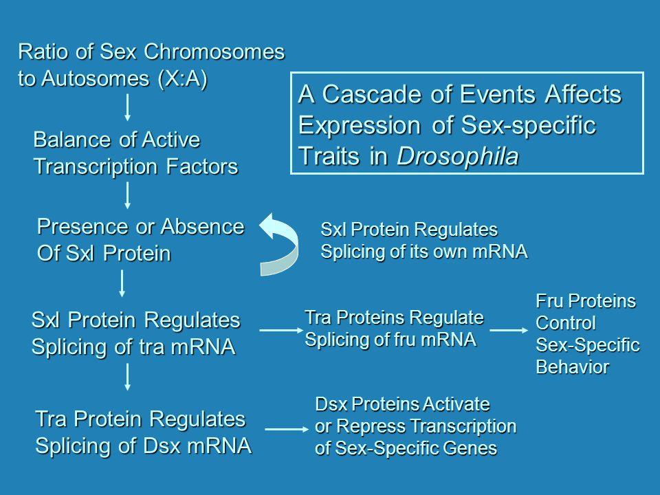 Ratio of Sex Chromosomes to Autosomes (X:A)