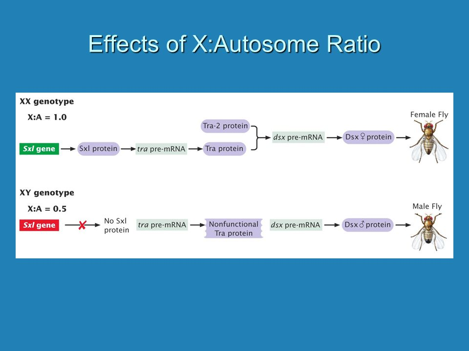 Effects of X:Autosome Ratio
