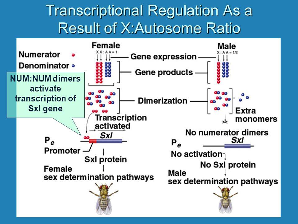 Transcriptional Regulation As a Result of X:Autosome Ratio