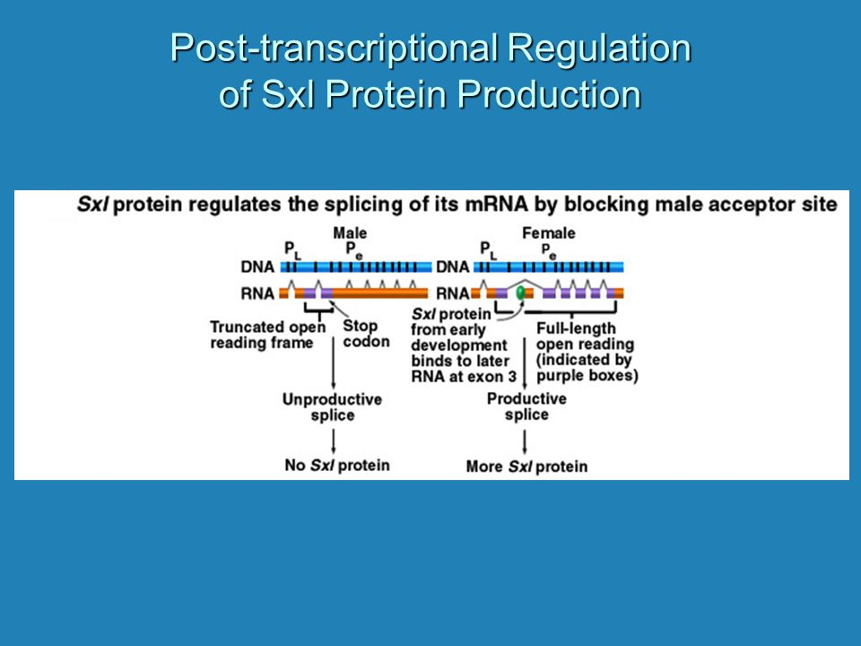 Post-transcriptional Regulation of Sxl Protein Production