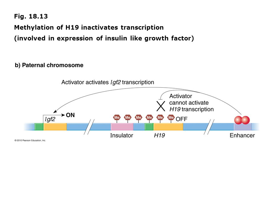 Fig. 18.13 Methylation of H19 inactivates transcription.