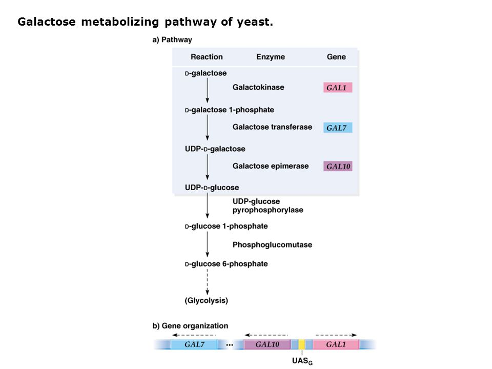 Galactose metabolizing pathway of yeast.