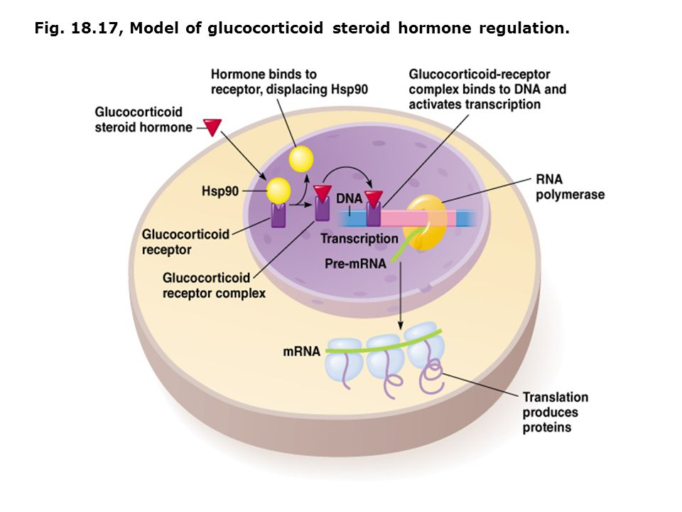 Fig. 18.17, Model of glucocorticoid steroid hormone regulation.