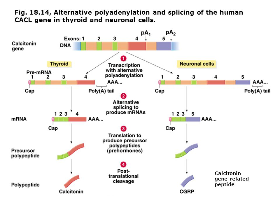 Fig. 18.14, Alternative polyadenylation and splicing of the human CACL gene in thyroid and neuronal cells.