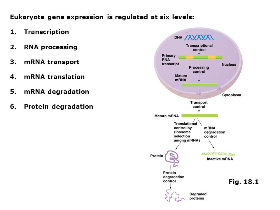 Eukaryote gene expression is regulated at six levels: