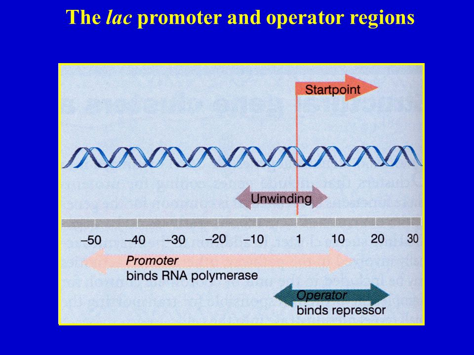 The lac promoter and operator regions