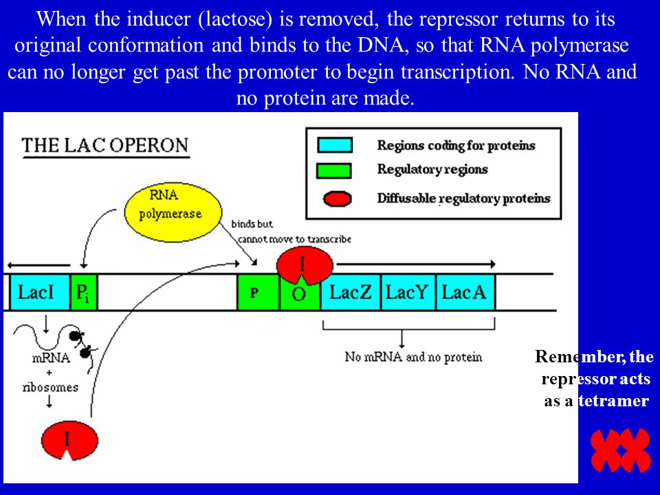 When the inducer (lactose) is removed, the repressor returns to its