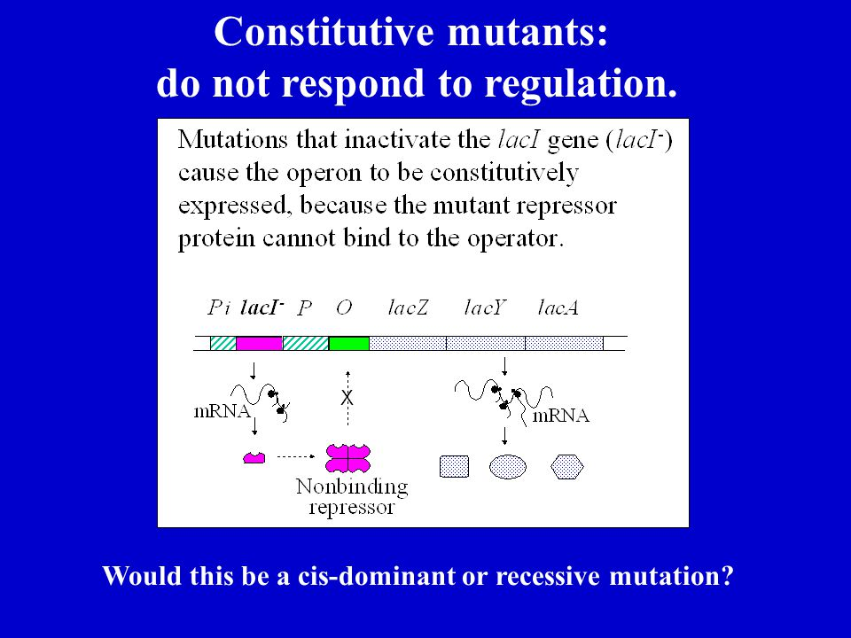 Constitutive mutants: do not respond to regulation.