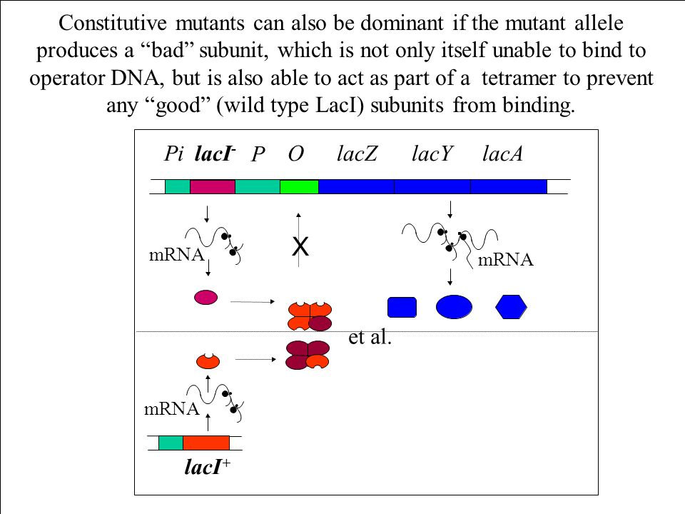 Constitutive mutants can also be dominant if the mutant allele produces a bad subunit, which is not only itself unable to bind to operator DNA, but is also able to act as part of a tetramer to prevent any good (wild type LacI) subunits from binding.