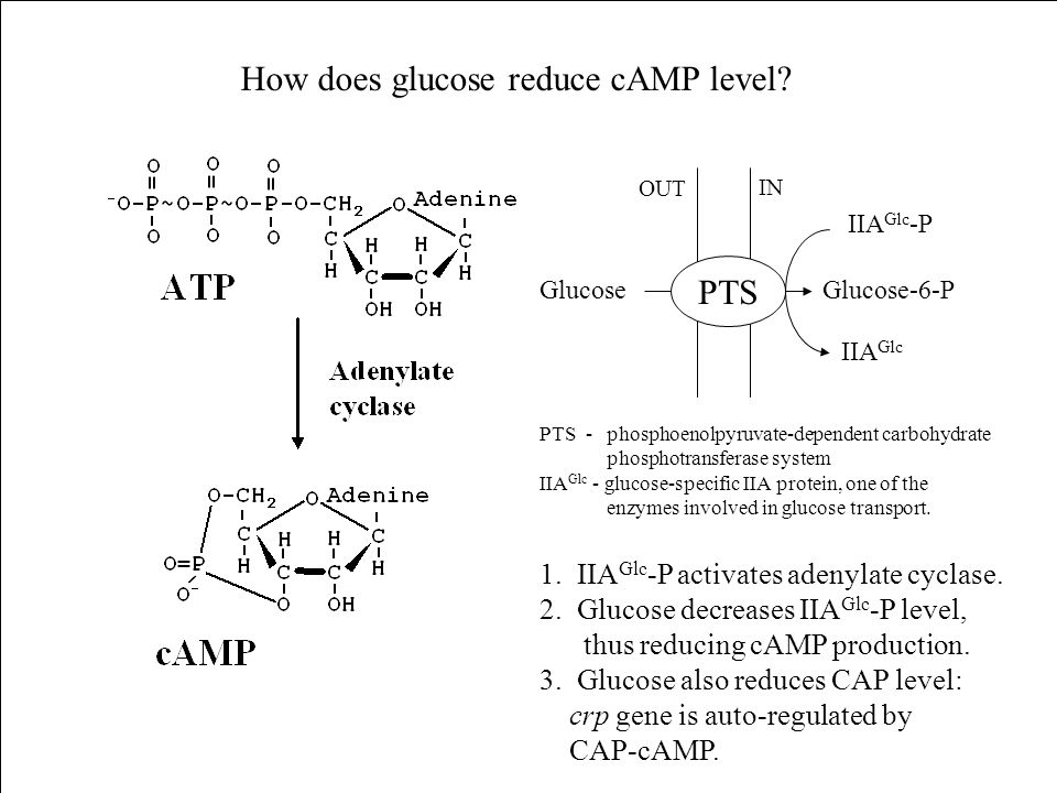 How does glucose reduce cAMP level
