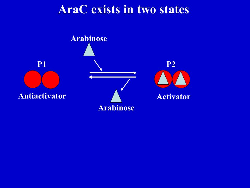 AraC exists in two states