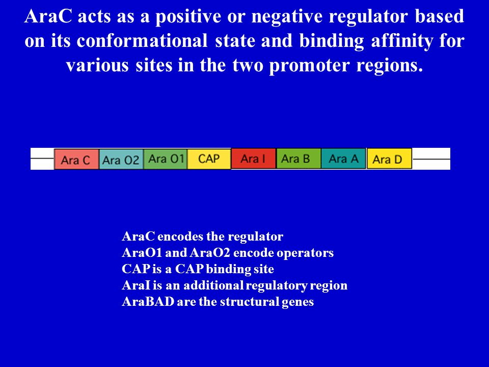 AraC acts as a positive or negative regulator based on its conformational state and binding affinity for various sites in the two promoter regions.