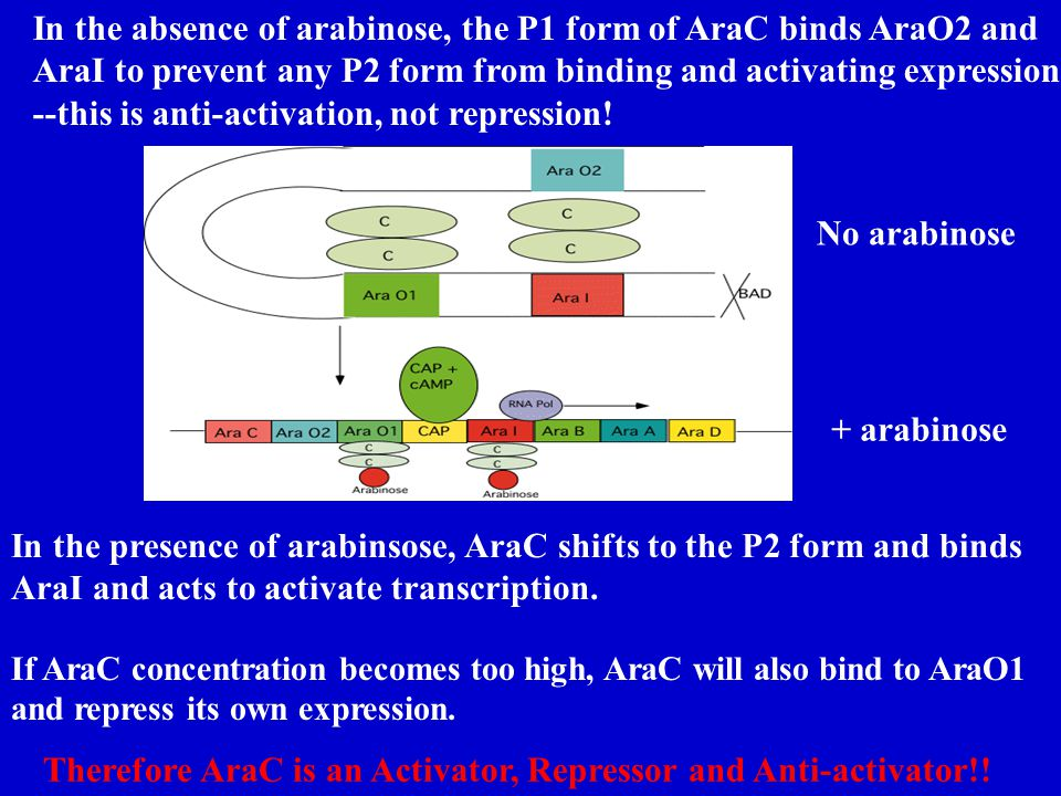 In the absence of arabinose, the P1 form of AraC binds AraO2 and