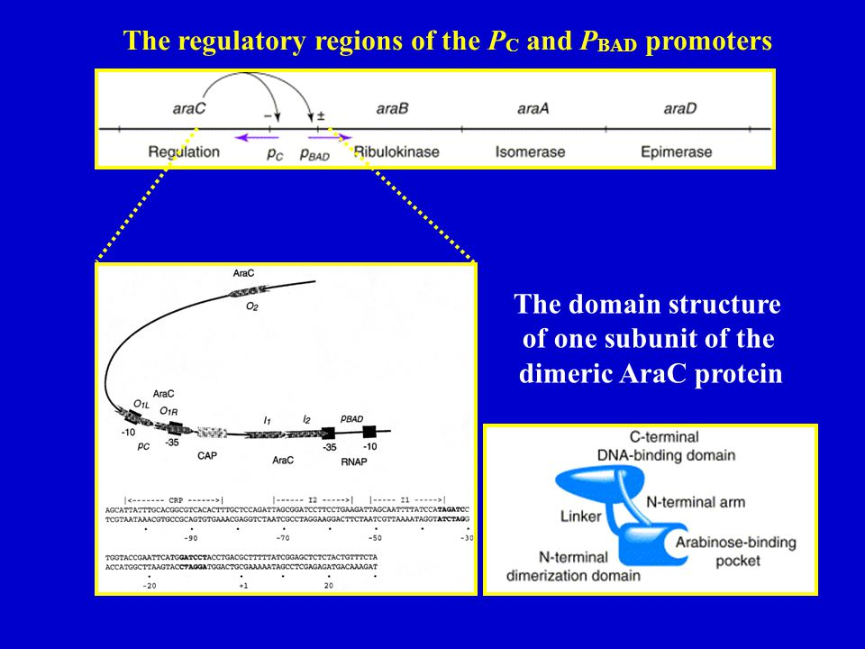 The domain structure of one subunit of the dimeric AraC protein