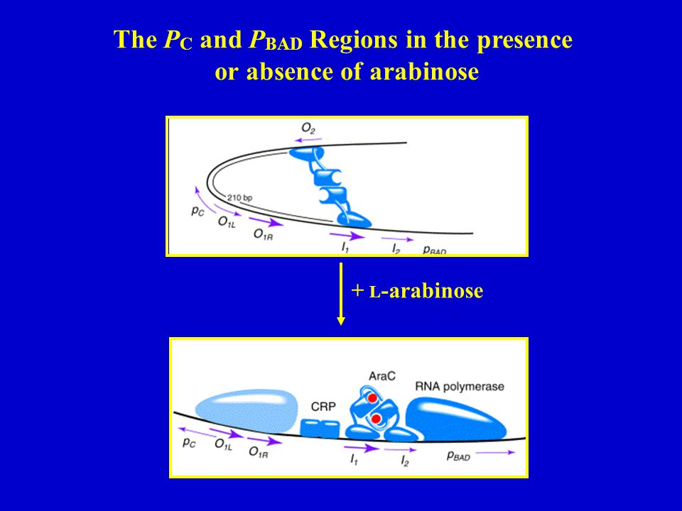 The PC and PBAD Regions in the presence or absence of arabinose