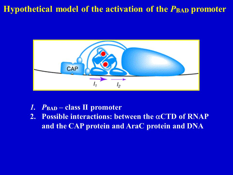 Hypothetical model of the activation of the PBAD promoter