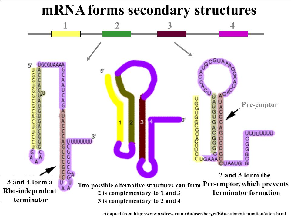 mRNA forms secondary structures