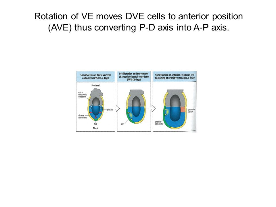 Rotation of VE moves DVE cells to anterior position