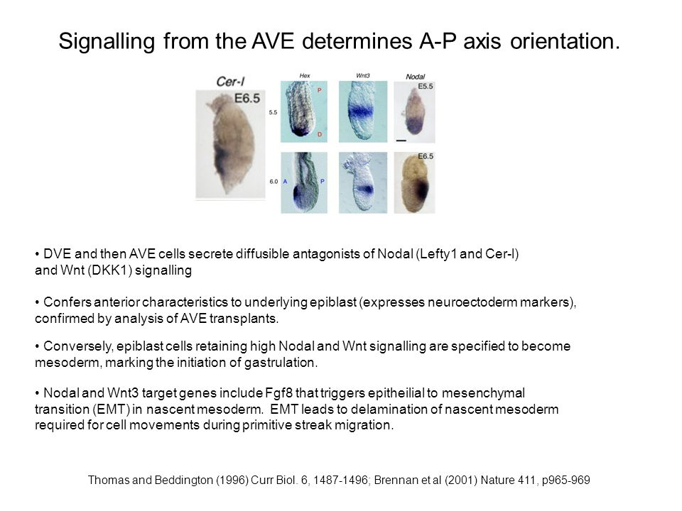 Signalling from the AVE determines A-P axis orientation.