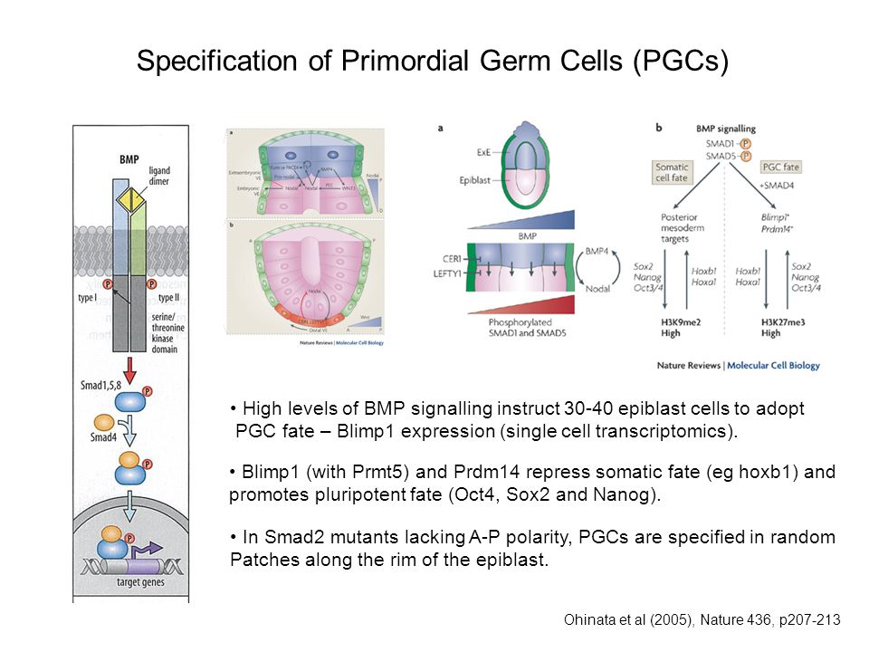 Specification of Primordial Germ Cells (PGCs)
