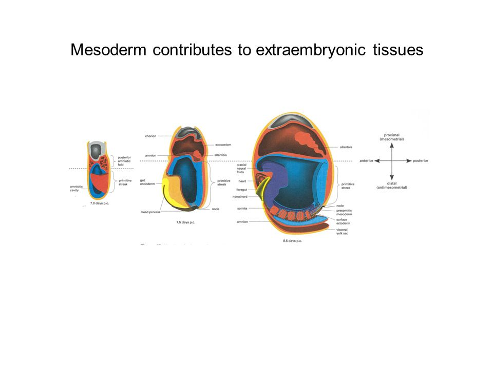Mesoderm contributes to extraembryonic tissues