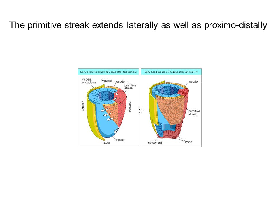 The primitive streak extends laterally as well as proximo-distally