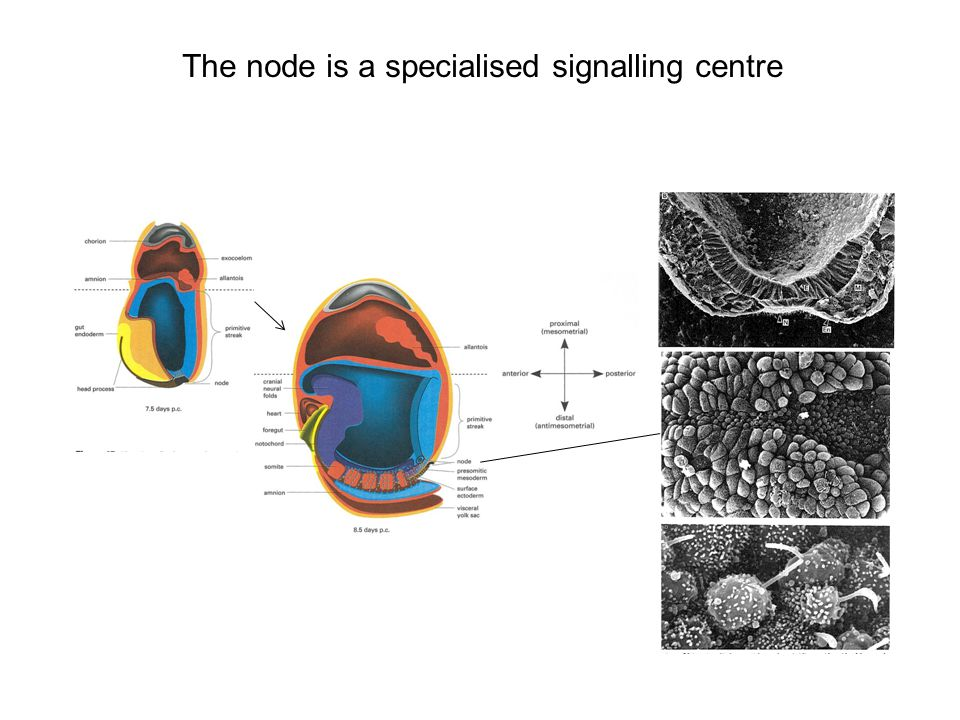 The node is a specialised signalling centre