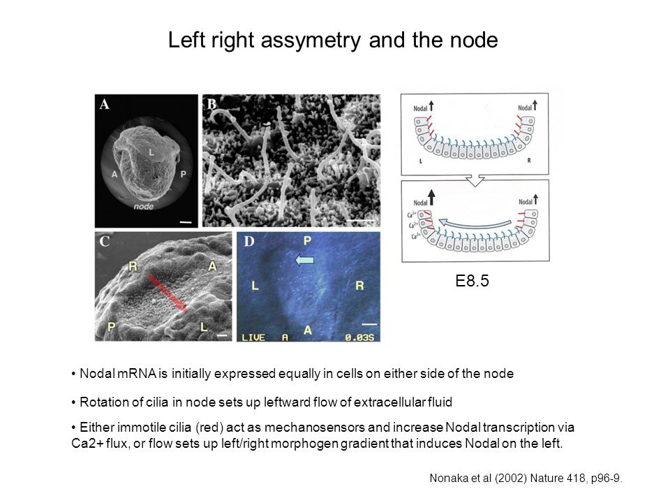 Left right assymetry and the node