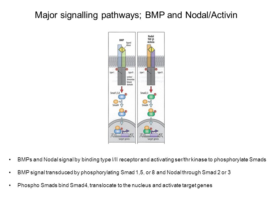 Major signalling pathways; BMP and Nodal/Activin