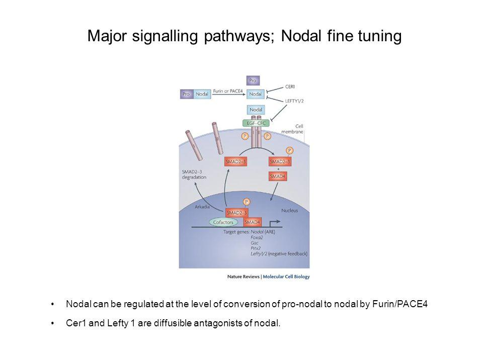 Major signalling pathways; Nodal fine tuning