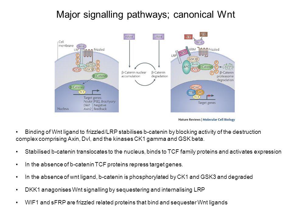Major signalling pathways; canonical Wnt