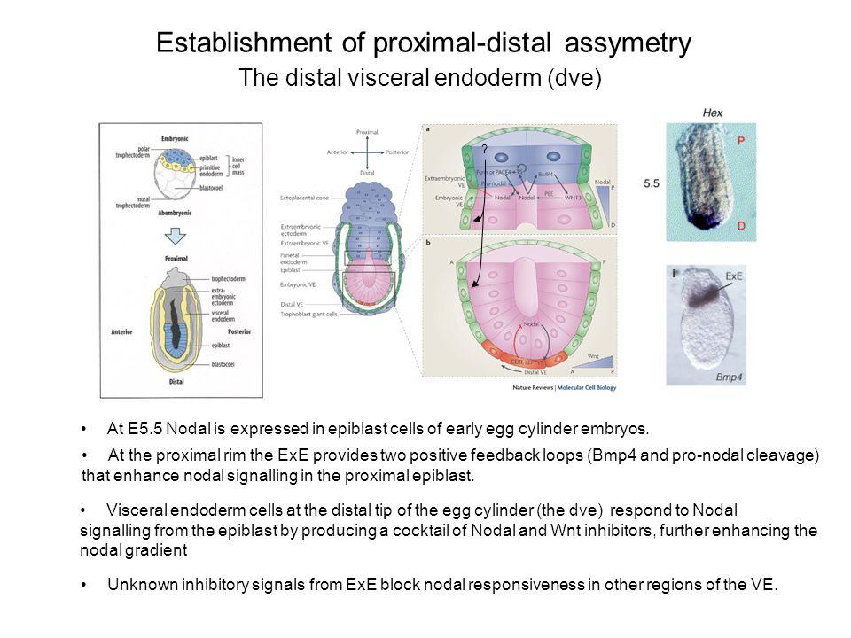 Establishment of proximal-distal assymetry