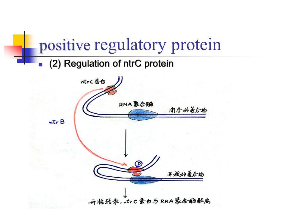 positive regulatory protein