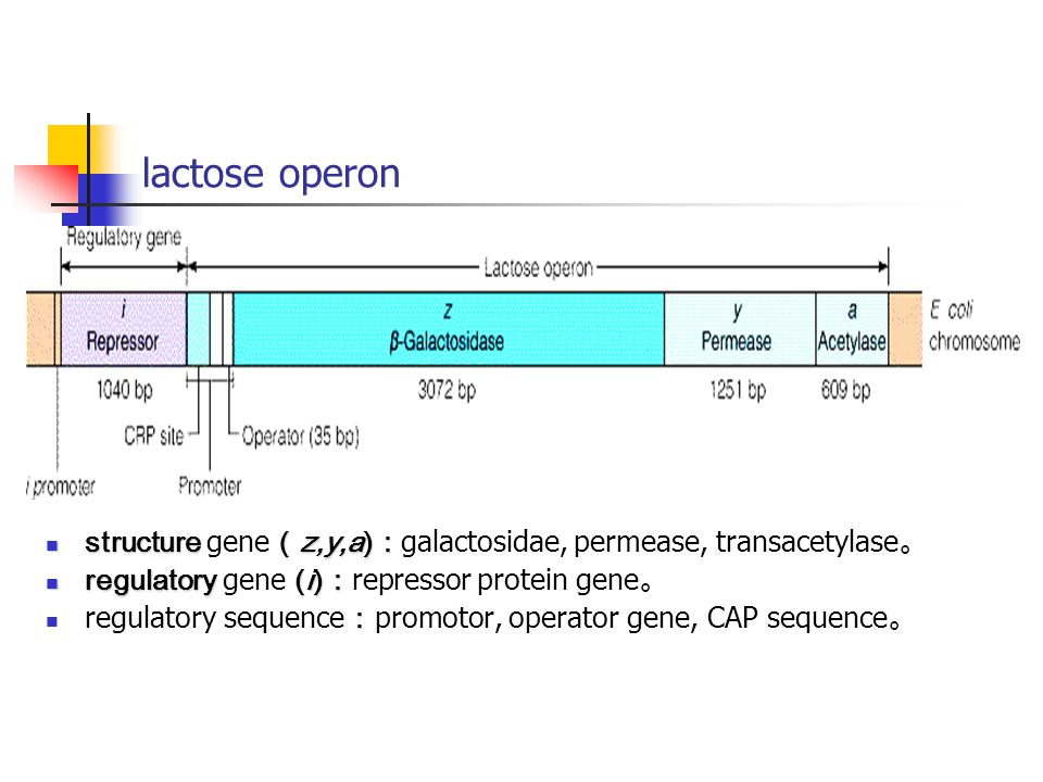 lactose operon structure gene(z,y,a):galactosidae, permease, transacetylase。 regulatory gene (i):repressor protein gene。